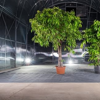 ein großer und kleiner Ficusbaum