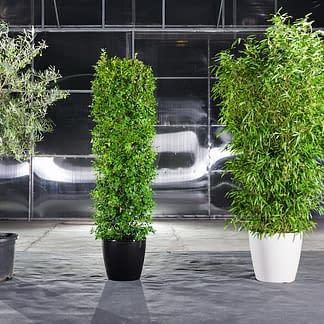 Olive, Liguster und Bambus in kleinen Töpfen