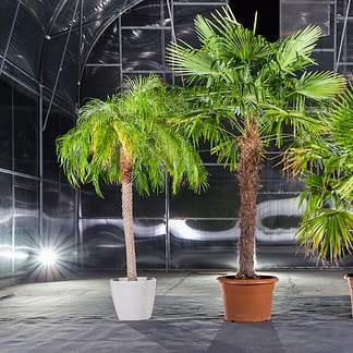 Roebelinii, Trachycarpus und Washingtonia Palmen