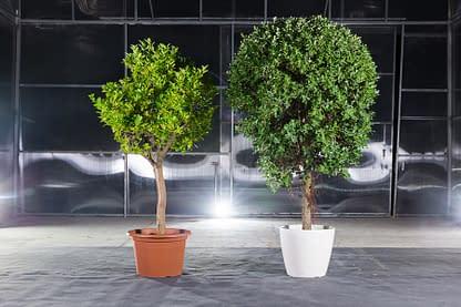 Orangenbaum und Eisenholzbaum mit weißem Topf